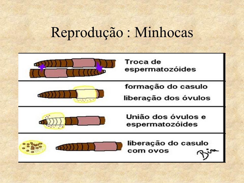 Reprodução : Minhocas