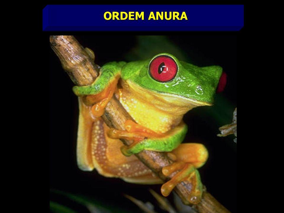 ORDEM ANURA