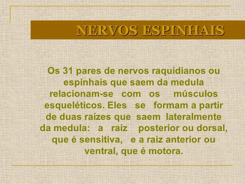 NERVOS ESPINHAIS