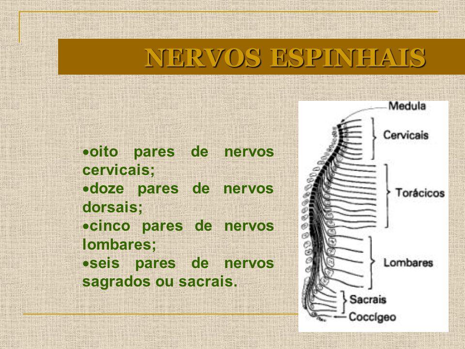 NERVOS ESPINHAIS oito pares de nervos cervicais;