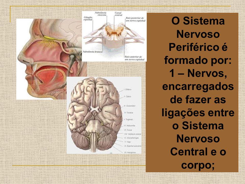 O Sistema Nervoso Periférico é formado por: