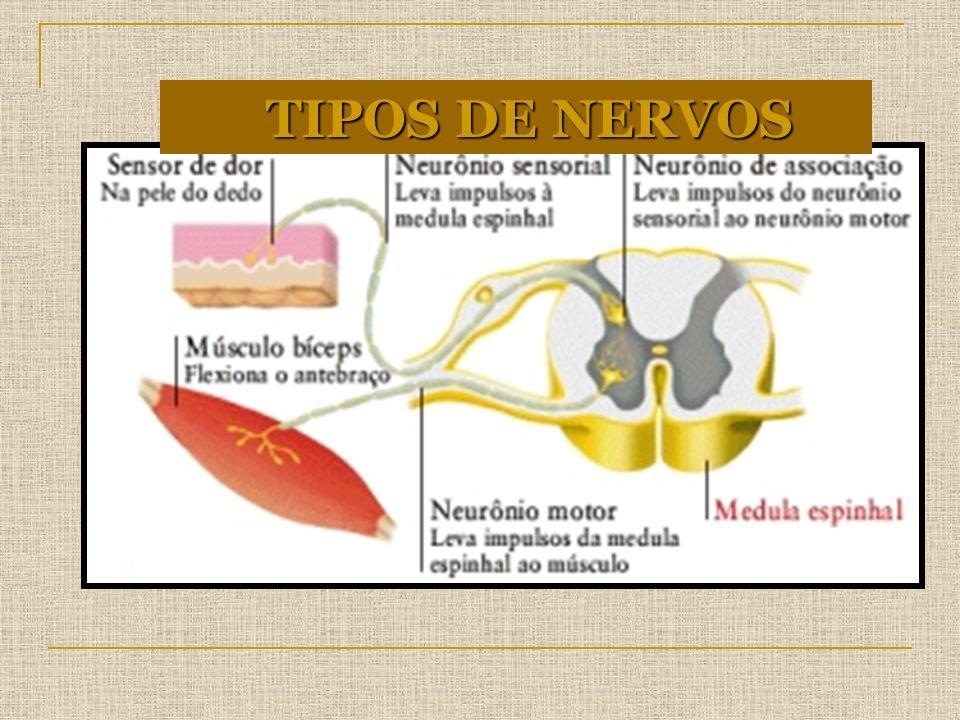 TIPOS DE NERVOS