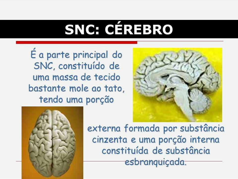 SNC: CÉREBRO É a parte principal do SNC, constituído de uma massa de tecido bastante mole ao tato, tendo uma porção.