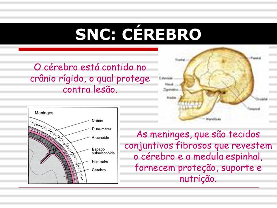 O cérebro está contido no crânio rígido, o qual protege contra lesão.