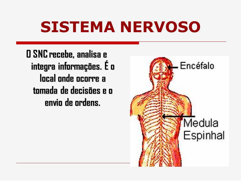 SISTEMA NERVOSO O SNC recebe, analisa e integra informações.