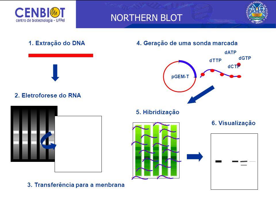 NORTHERN BLOT 1. Extração do DNA 4. Geração de uma sonda marcada