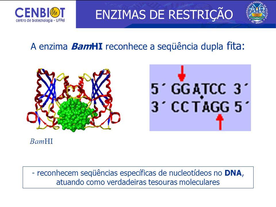 A enzima BamHI reconhece a seqüência dupla fita: