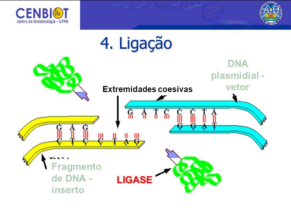 4. Ligação DNA plasmidial - vetor Fragmento de DNA - inserto LIGASE