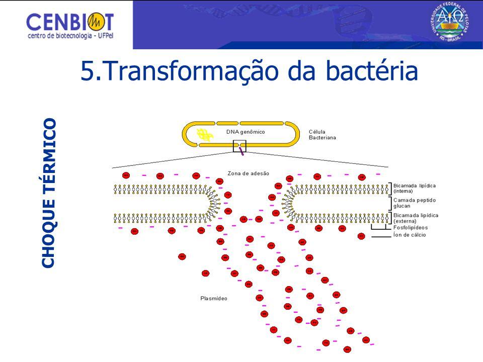 5.Transformação da bactéria