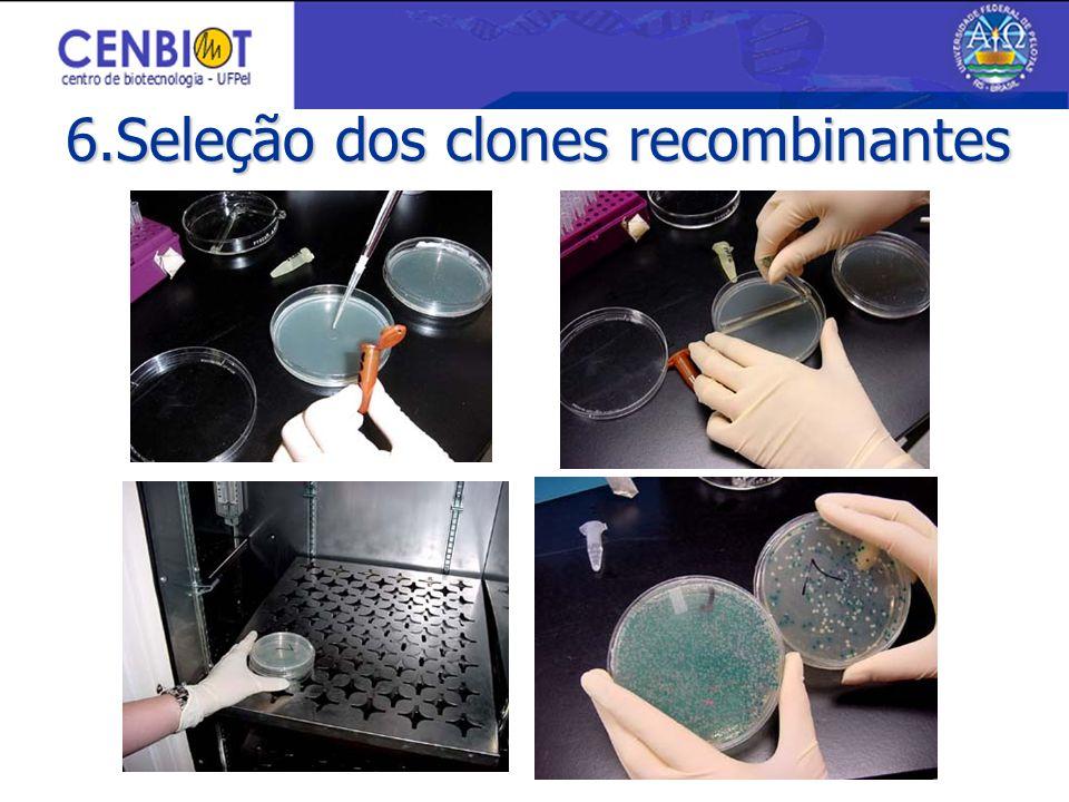 6.Seleção dos clones recombinantes
