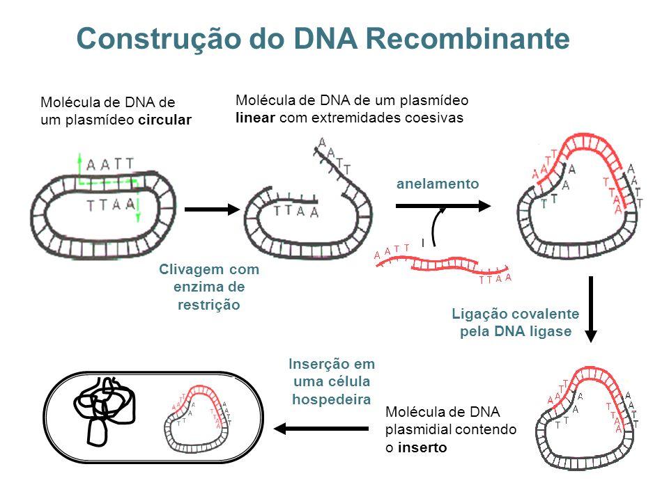Construção do DNA Recombinante