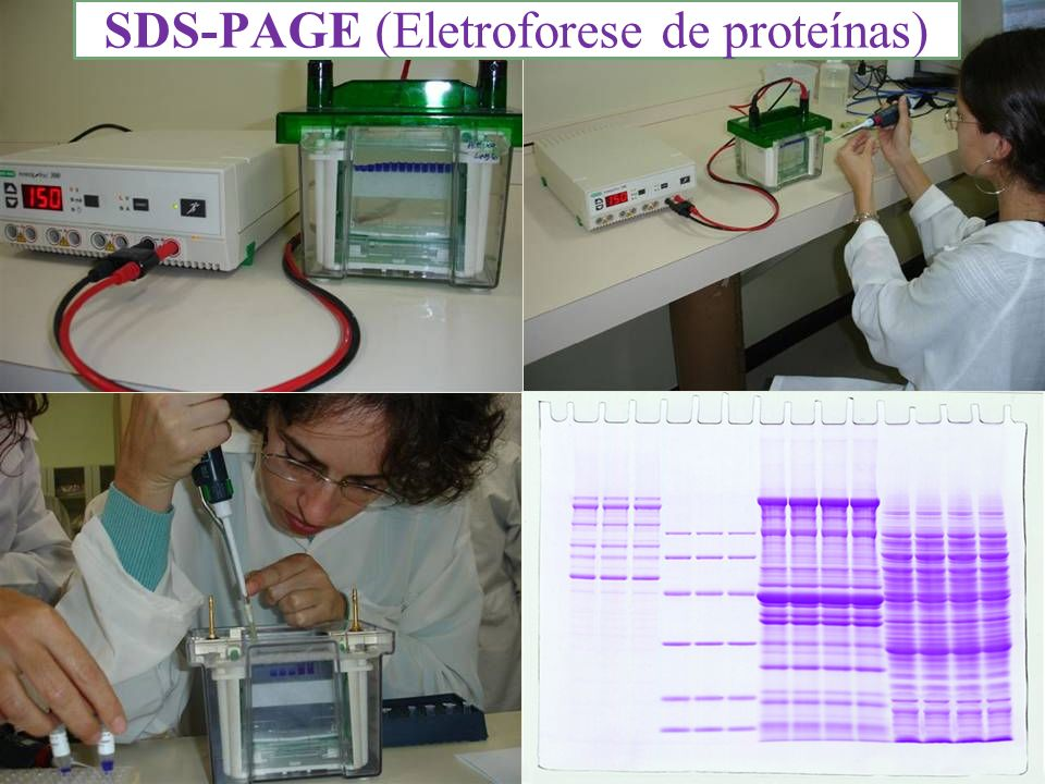 SDS-PAGE (Eletroforese de proteínas)