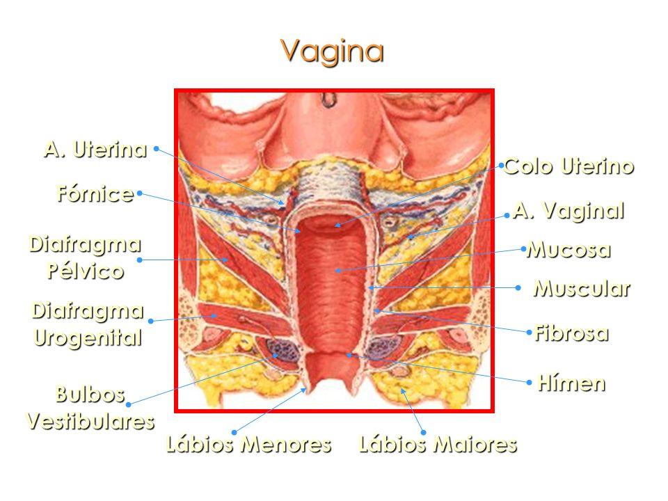 Vagina A. Uterina Colo Uterino Fórnice A. Vaginal Diafragma Pélvico