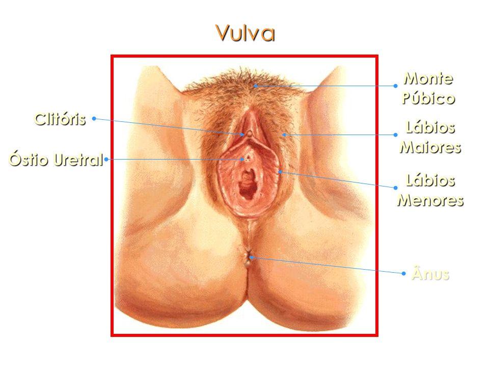 Vulva Monte Púbico Clitóris Lábios Maiores Óstio Uretral