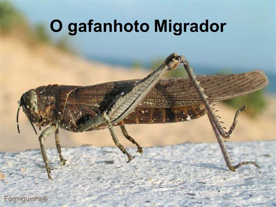 O gafanhoto Migrador