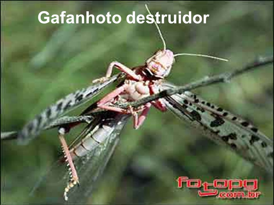 Gafanhoto destruidor