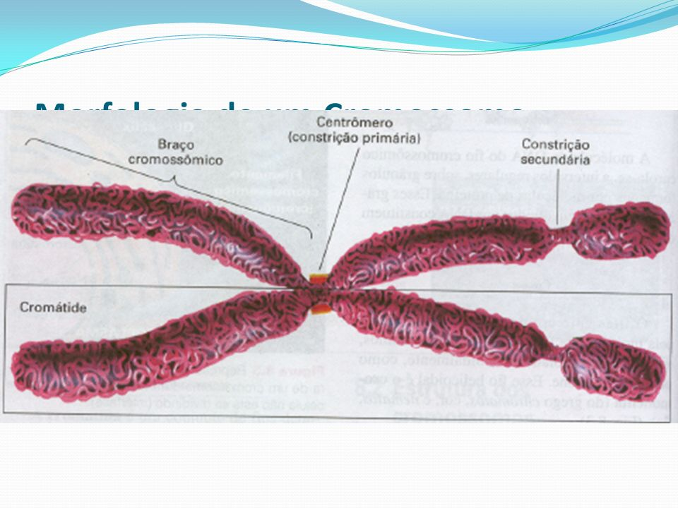 Morfologia de um Cromossomo