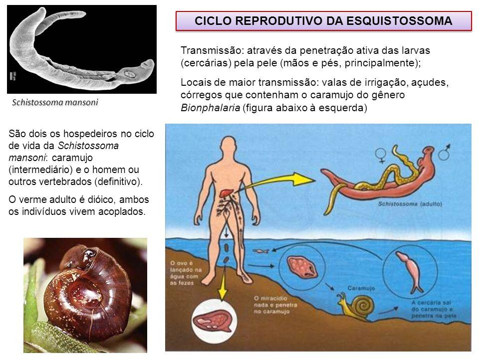 CICLO REPRODUTIVO DA ESQUISTOSSOMA