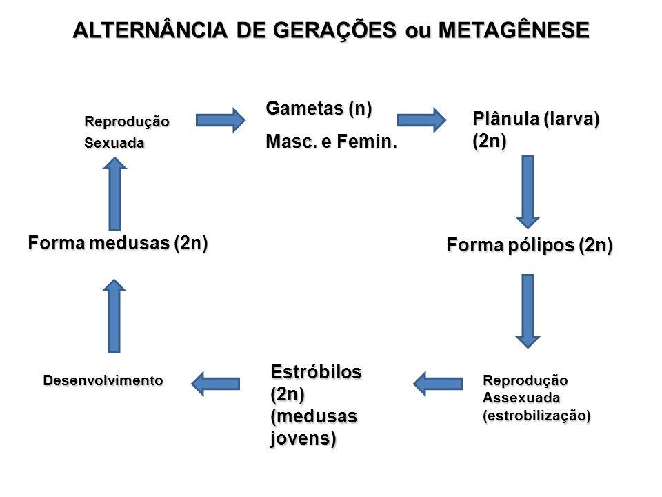 ALTERNÂNCIA DE GERAÇÕES ou METAGÊNESE