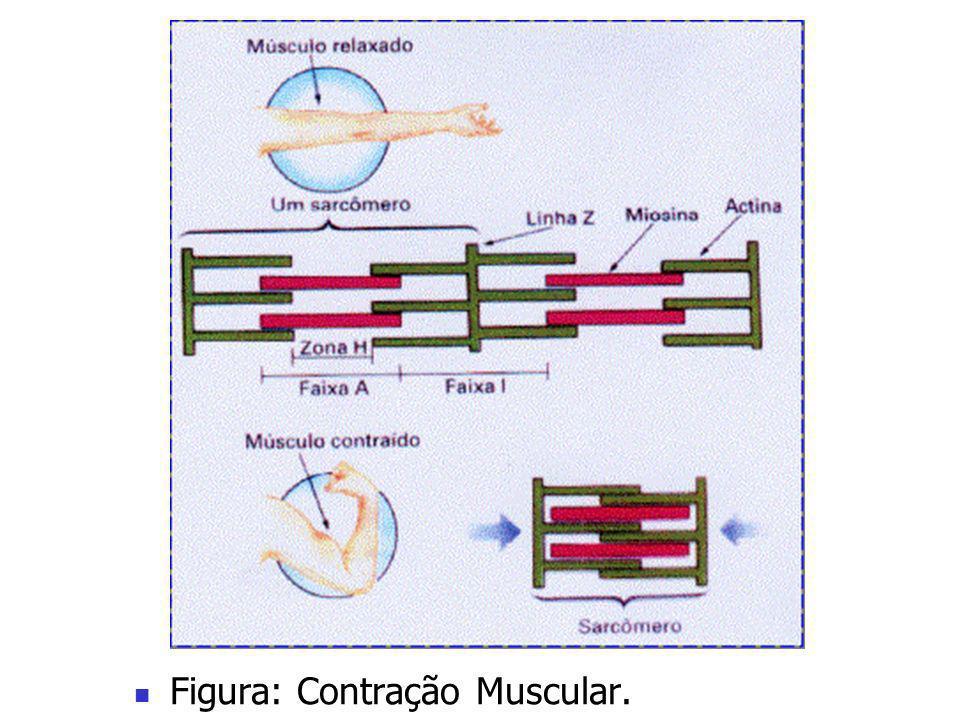 Figura: Contração Muscular.