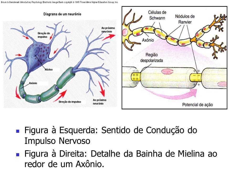 Figura à Esquerda: Sentido de Condução do Impulso Nervoso