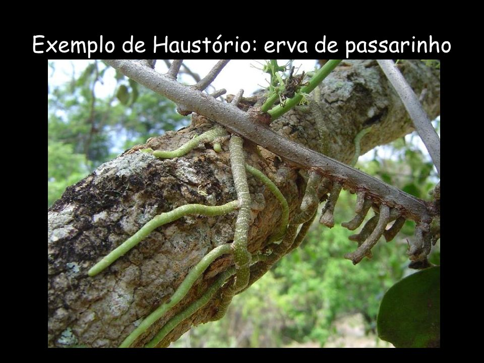 Exemplo de Haustório: erva de passarinho