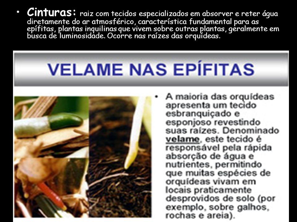 Cinturas: raiz com tecidos especializados em absorver e reter água diretamente do ar atmosférico, característica fundamental para as epífitas, plantas inquilinas que vivem sobre outras plantas, geralmente em busca de luminosidade.
