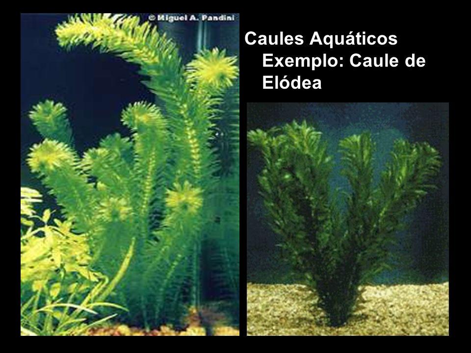Caules Aquáticos Exemplo: Caule de Elódea