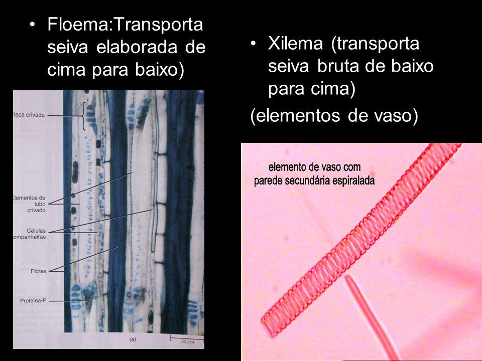 Floema:Transporta seiva elaborada de cima para baixo)