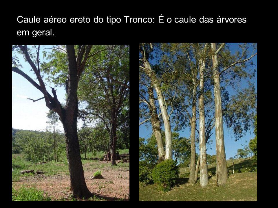 Caule aéreo ereto do tipo Tronco: É o caule das árvores em geral.