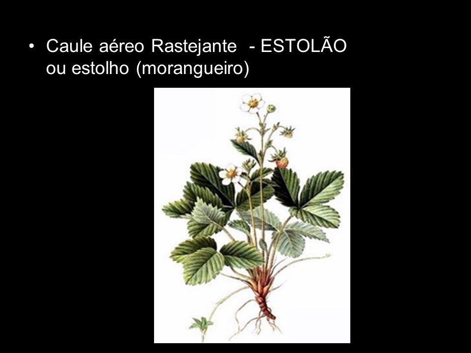 Caule aéreo Rastejante - ESTOLÃO ou estolho (morangueiro)