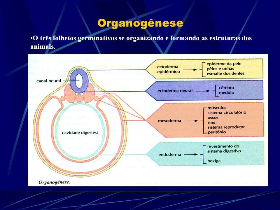 Organogênese O três folhetos germinativos se organizando e formando as estruturas dos animais.