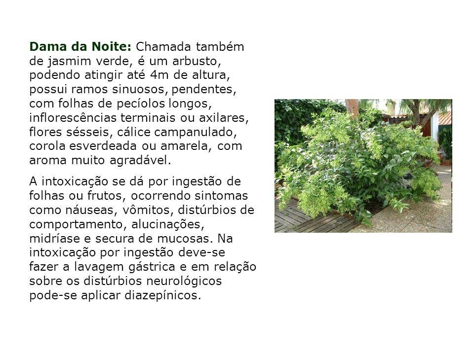 Dama da Noite: Chamada também de jasmim verde, é um arbusto, podendo atingir até 4m de altura, possui ramos sinuosos, pendentes, com folhas de pecíolos longos, inflorescências terminais ou axilares, flores sésseis, cálice campanulado, corola esverdeada ou amarela, com aroma muito agradável.