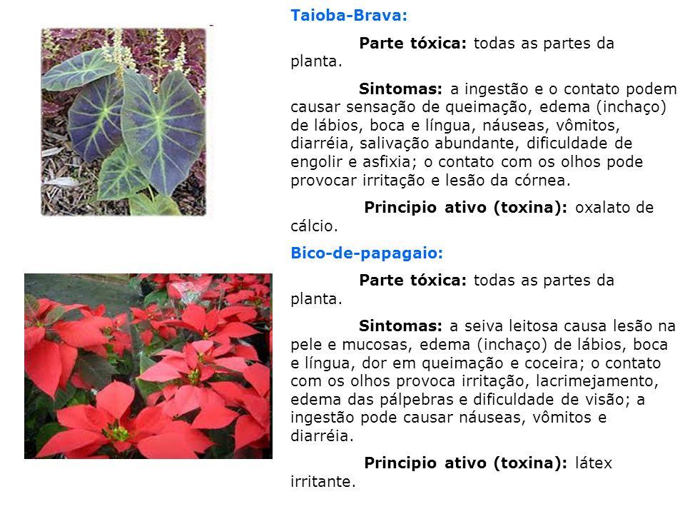 Taioba-Brava: Parte tóxica: todas as partes da planta.