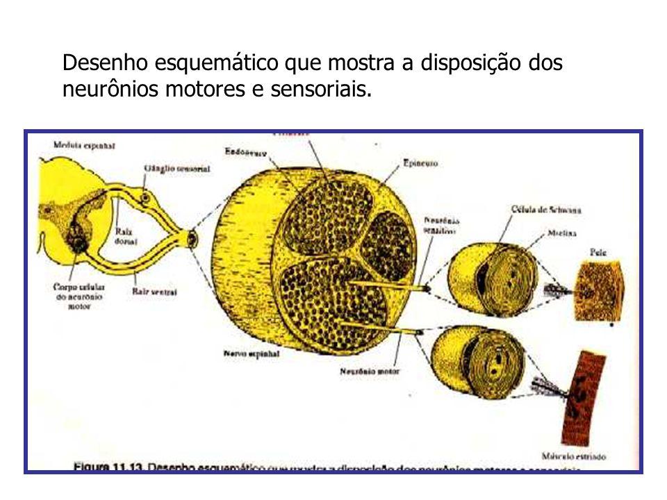 Desenho esquemático que mostra a disposição dos neurônios motores e sensoriais.