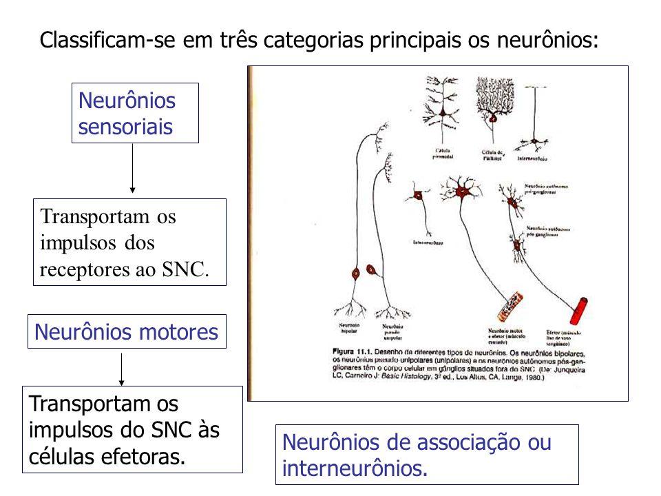 Classificam-se em três categorias principais os neurônios: