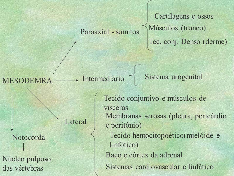 Cartilagens e ossos Músculos (tronco) Paraaxial - somitos. Tec. conj. Denso (derme) Sistema urogenital.