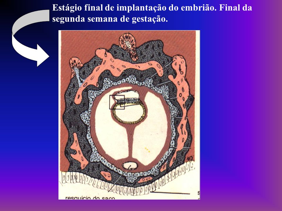 Estágio final de implantação do embrião
