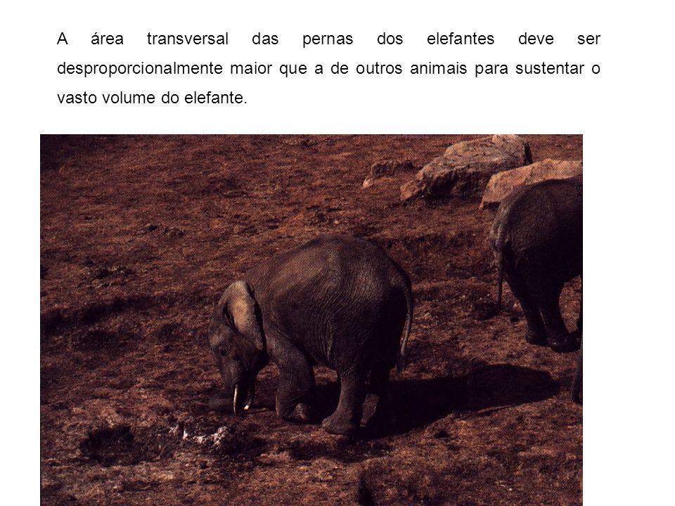 A área transversal das pernas dos elefantes deve ser desproporcionalmente maior que a de outros animais para sustentar o vasto volume do elefante.