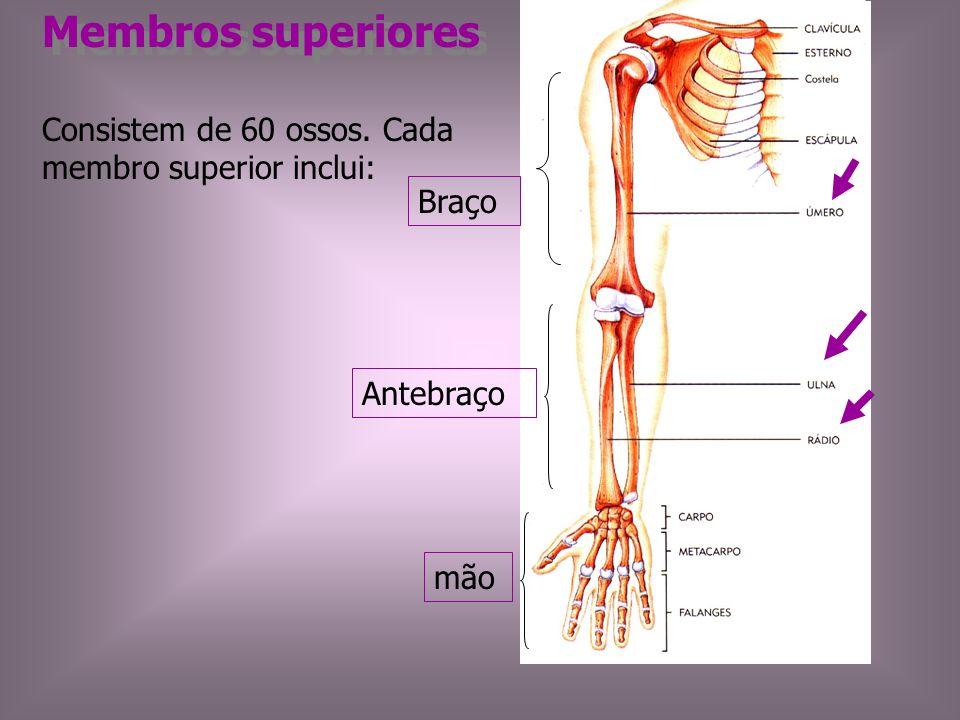 Membros superiores Consistem de 60 ossos. Cada membro superior inclui: