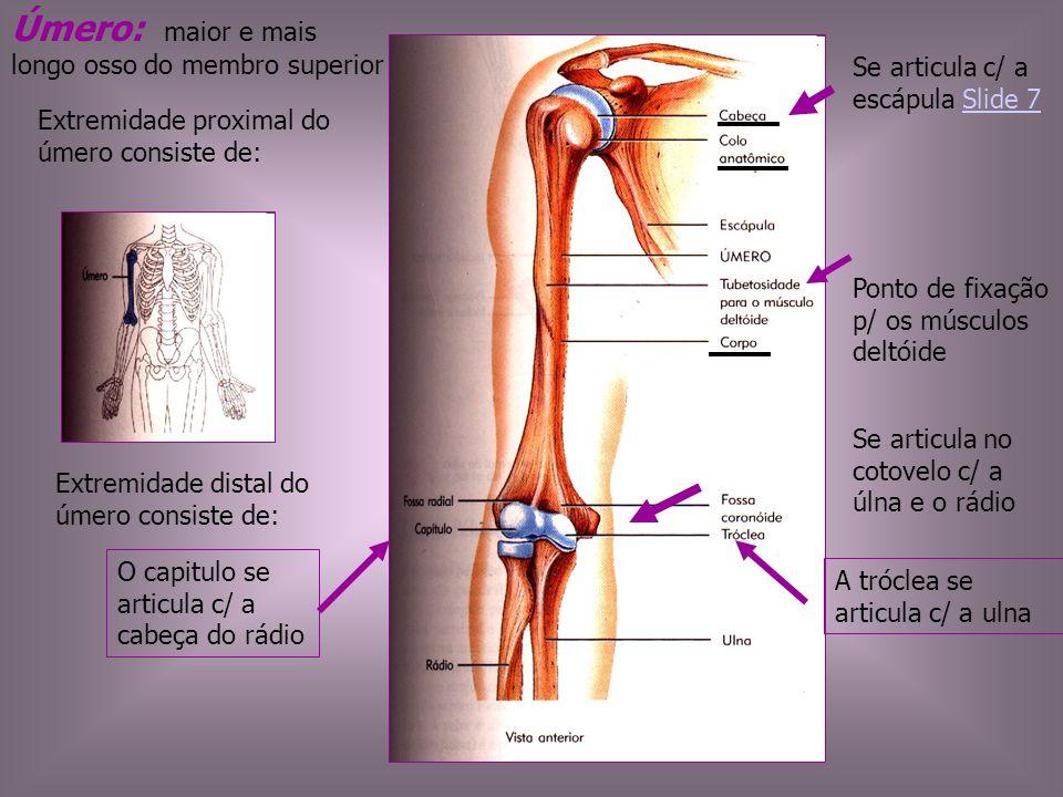 Úmero: maior e mais longo osso do membro superior