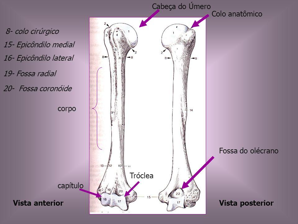 Cabeça do Úmero Colo anatômico. 8- colo cirúrgico. 15- Epicôndilo medial. 16- Epicôndilo lateral.