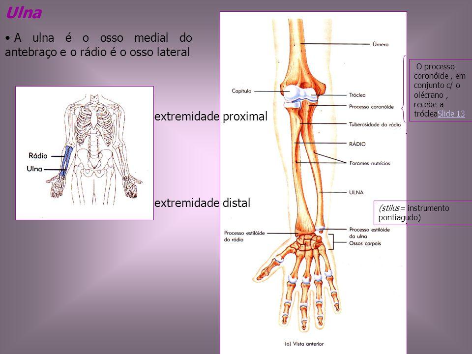 Ulna A ulna é o osso medial do antebraço e o rádio é o osso lateral