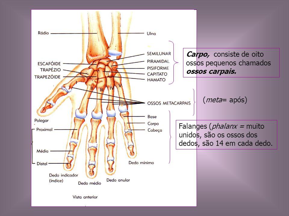 Carpo, consiste de oito ossos pequenos chamados ossos carpais.