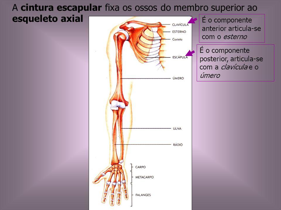 A cintura escapular fixa os ossos do membro superior ao esqueleto axial