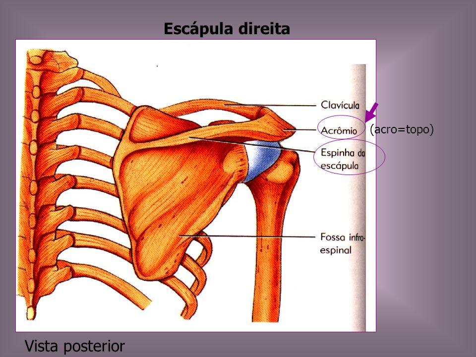 Escápula direita (acro=topo) Vista posterior