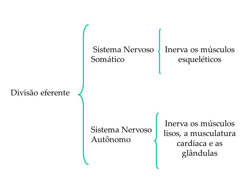 Sistema Nervoso Somático Inerva os músculos esqueléticos