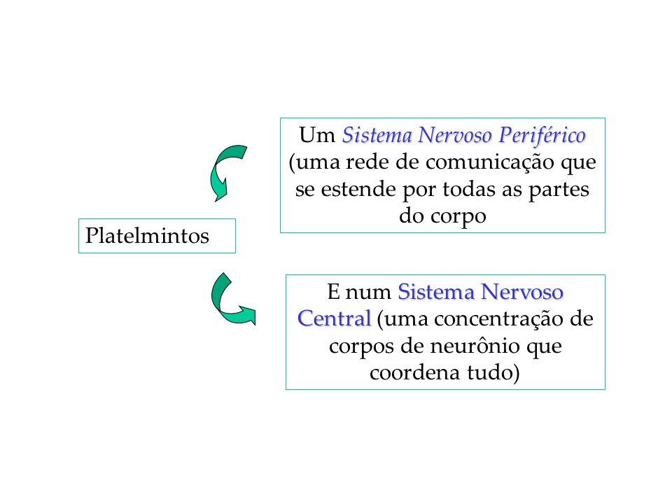 Um Sistema Nervoso Periférico (uma rede de comunicação que se estende por todas as partes do corpo