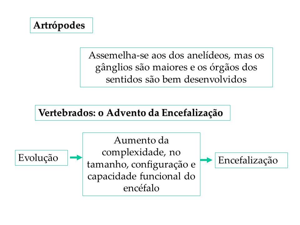 Artrópodes Assemelha-se aos dos anelídeos, mas os gânglios são maiores e os órgãos dos sentidos são bem desenvolvidos.