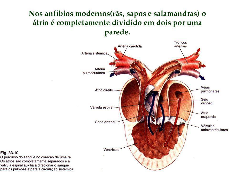 Nos anfíbios modernos(rãs, sapos e salamandras) o átrio é completamente dividido em dois por uma parede.